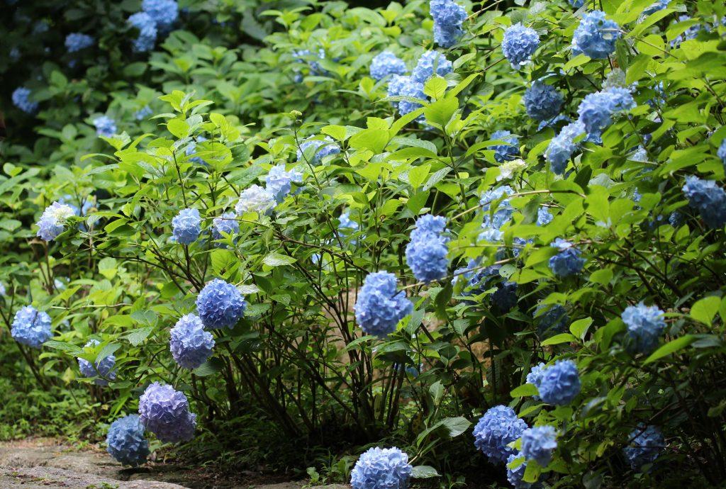 神戸市森林植物園の紫陽花