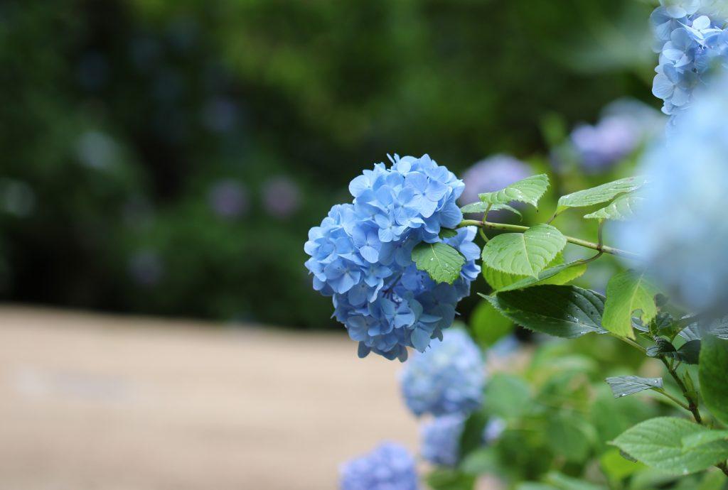 神戸市森林植物園のあじさい