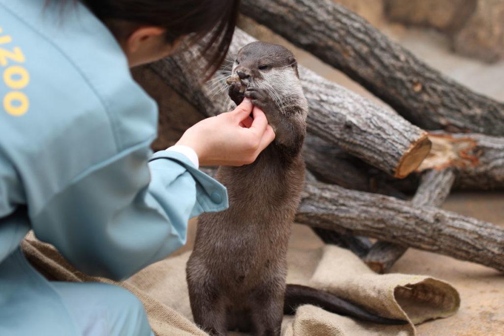 王子動物園のコツメカワウソ