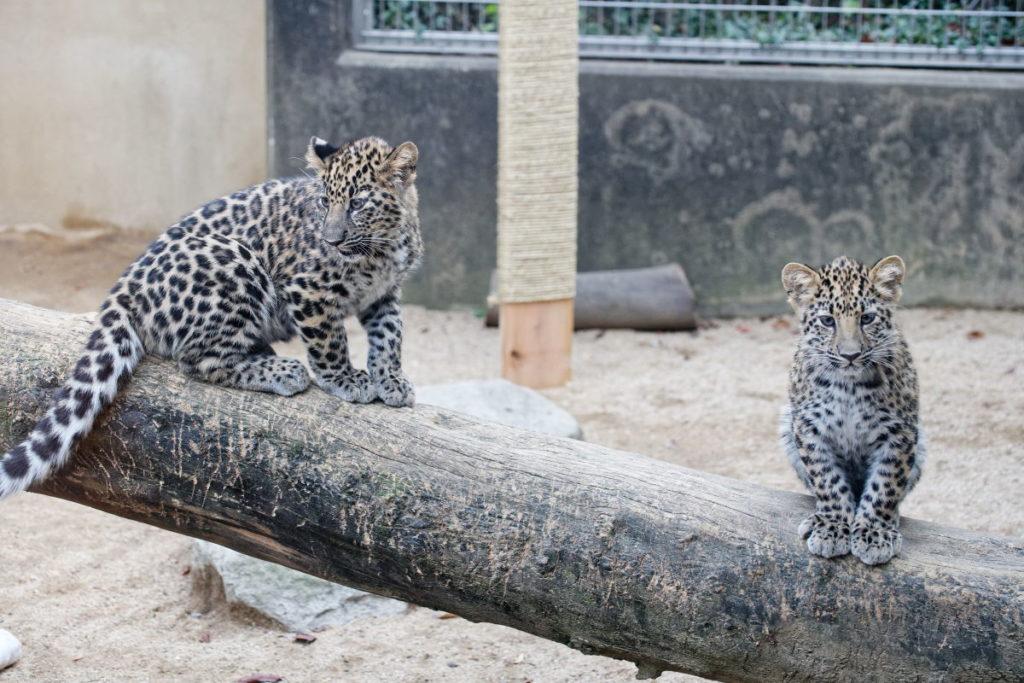 王子動物園のアムールヒョウの子ども