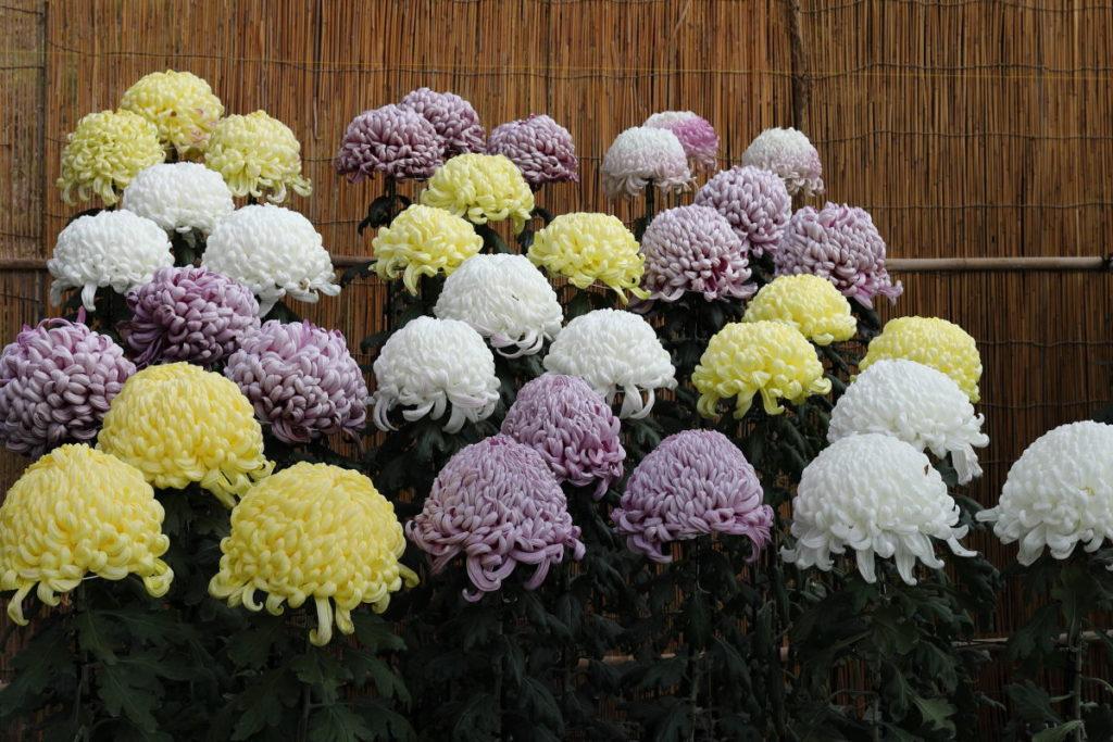 相楽園 菊花展