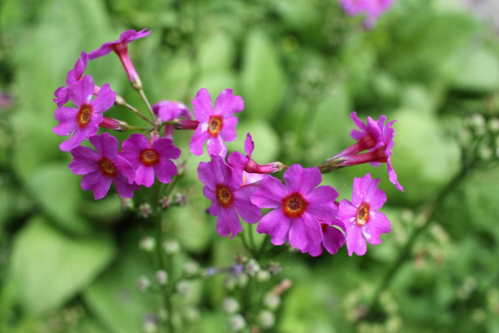 六甲高山植物園のクリンソウ