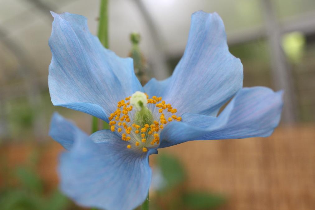 六甲高山植物園の青いケシの花