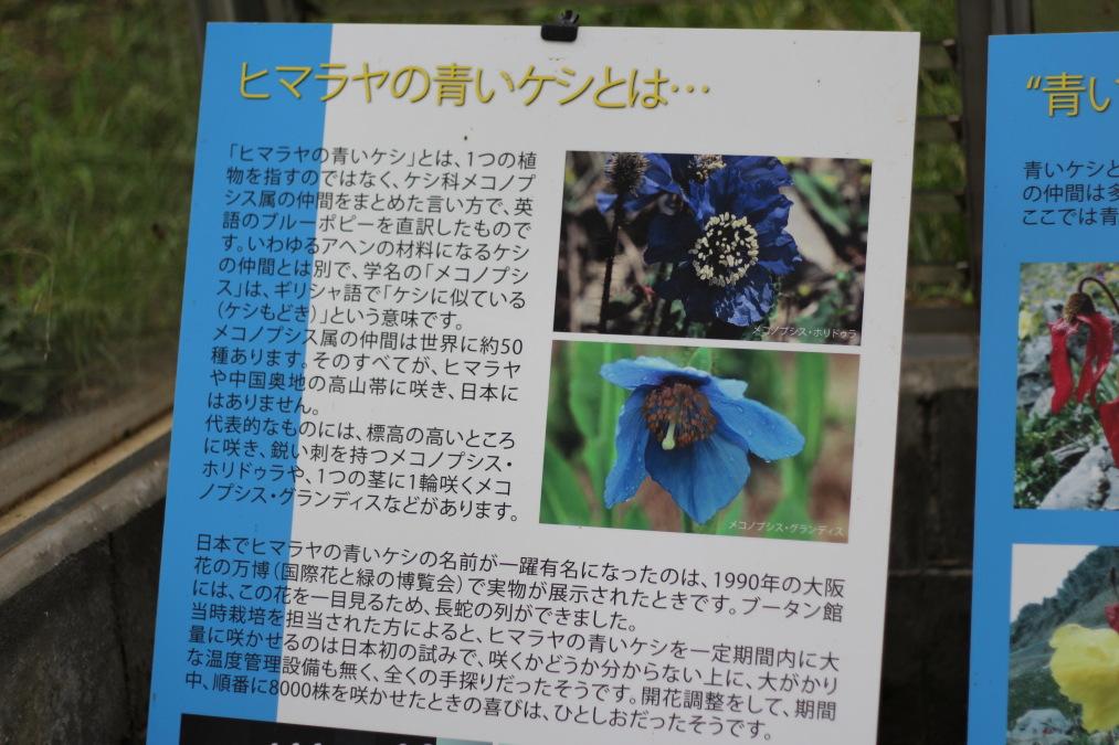 六甲高山植物園の青いケシの花の説明
