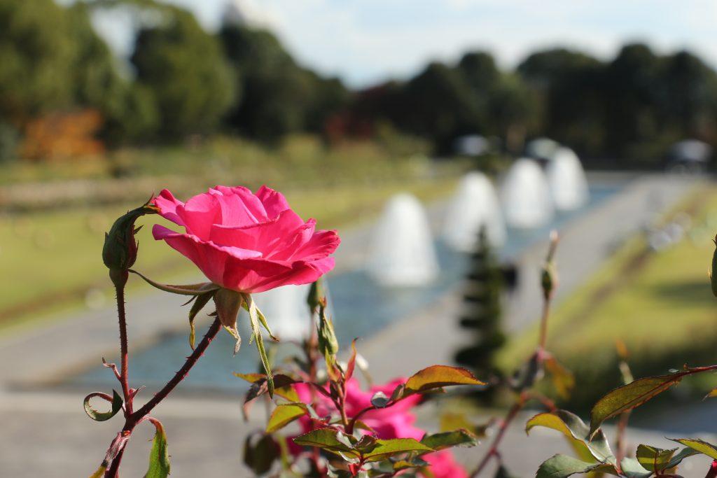 噴水広場のバラ 須磨離宮公園