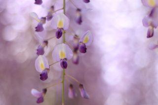 藤の花を魅力的に撮りたい!藤の写真の撮影方法とテクニック