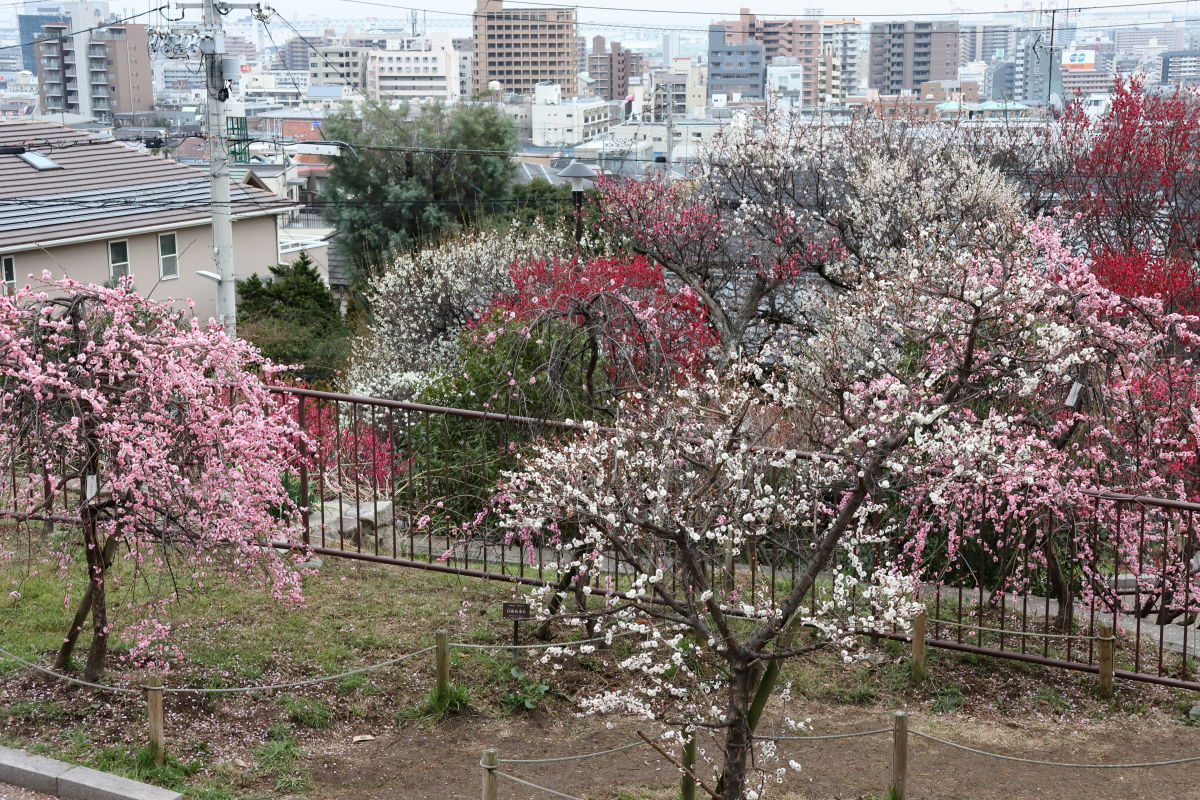 岡本梅林公園 2020年2月15日の梅の開花状況