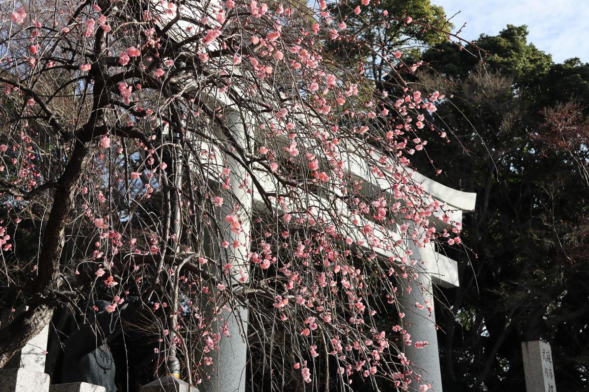 保久良神社 2020年2月12日の梅の開花状況