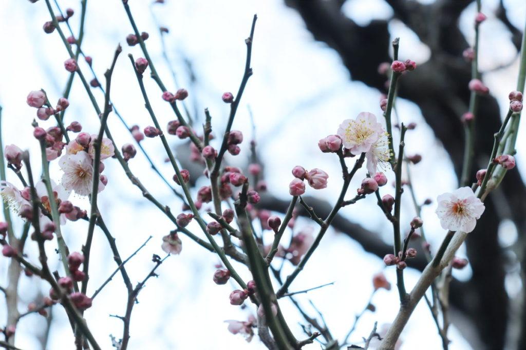 保久良梅林 2020年2月12日の梅の開花状況