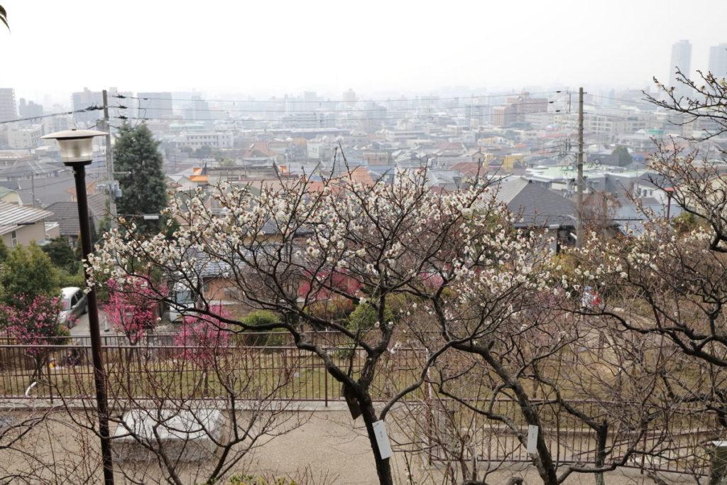 岡本梅林公園(神戸市東灘区)2019年2月7日の開花状況