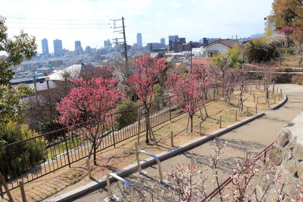 岡本梅林公園の梅並木