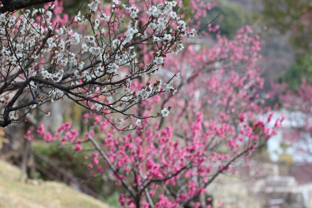 紅梅と白梅 岡本梅林公園