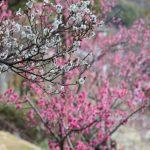 紅梅と白梅 横構図 岡本梅林公園