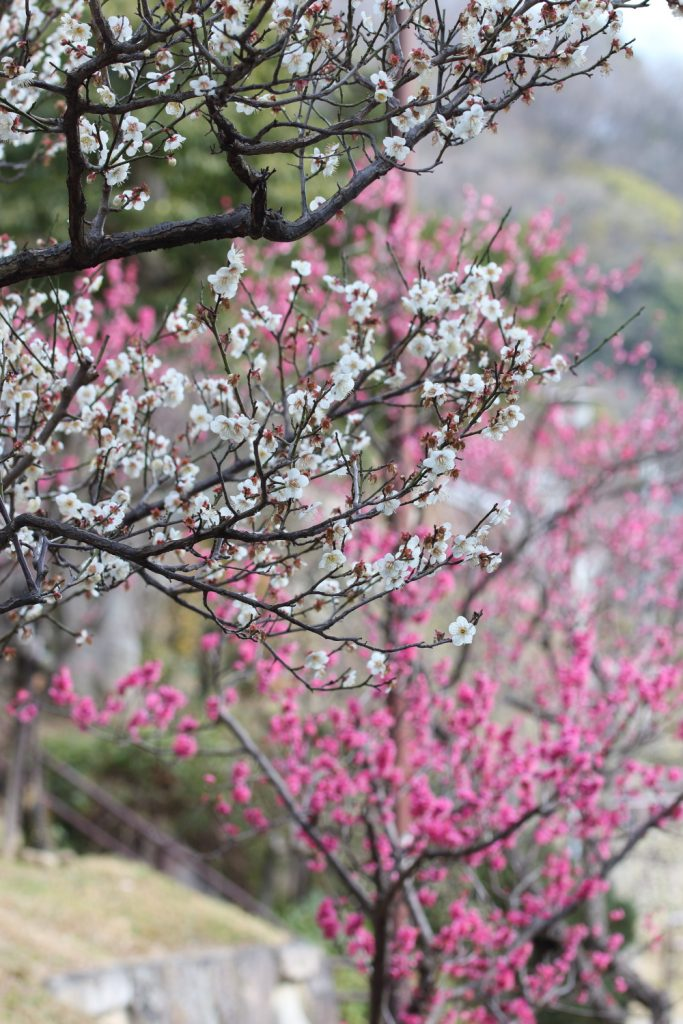 紅梅と白梅 縦構図 岡本梅林公園