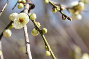 緑萼 岡本梅林公園
