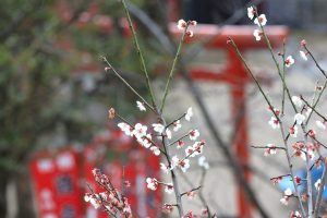 北野天満神社と梅