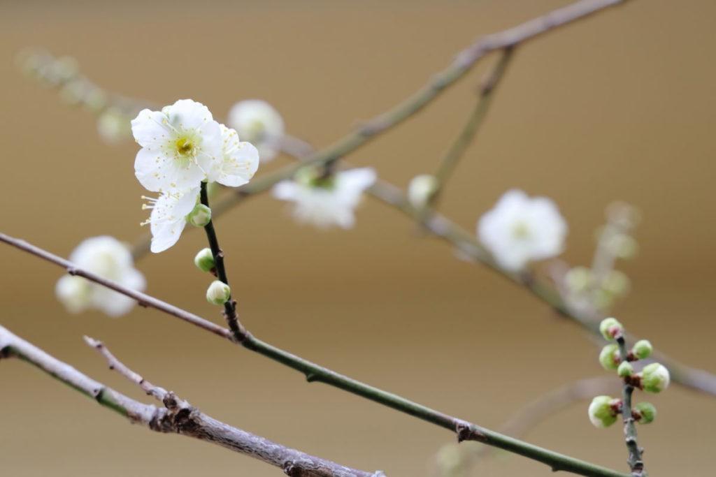 梅の花と枝