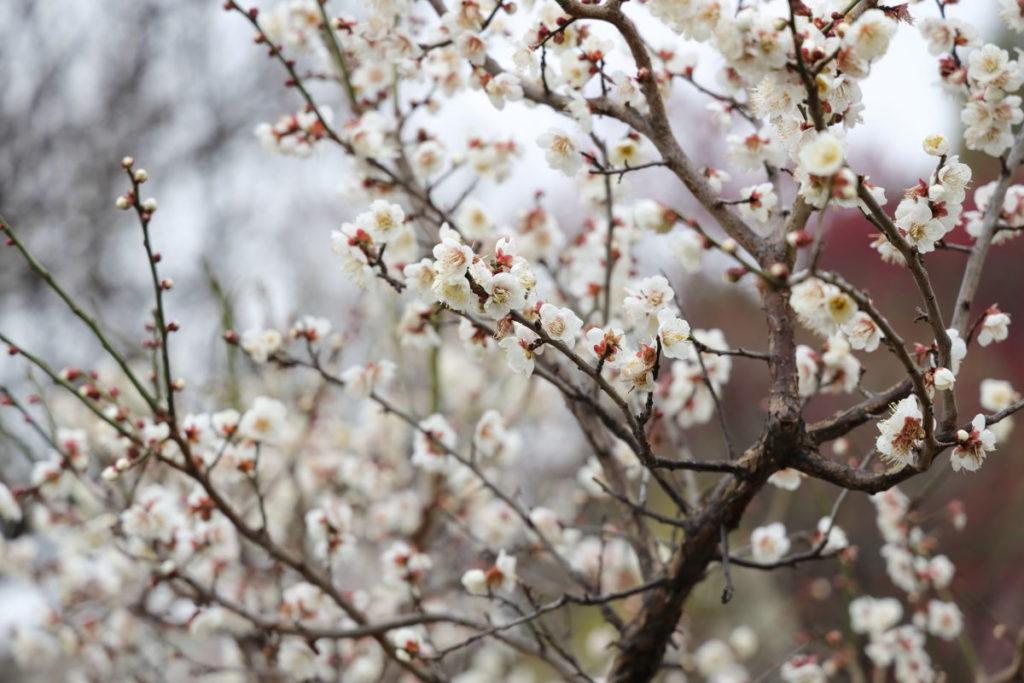 たくさん咲いている梅の花