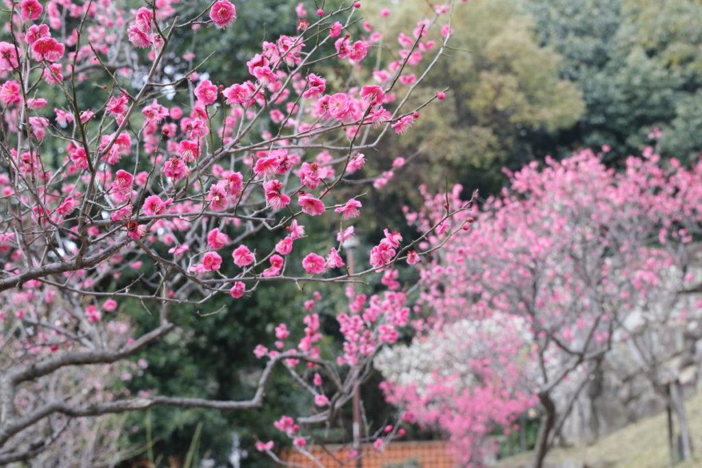 赤い梅の花たち