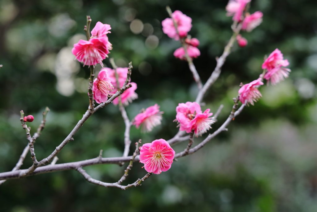 梅の枝と花