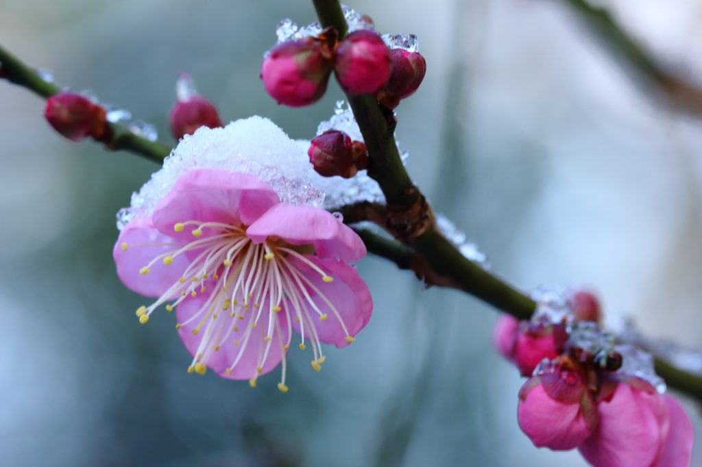 Snow and Japanese Plum (Ume)