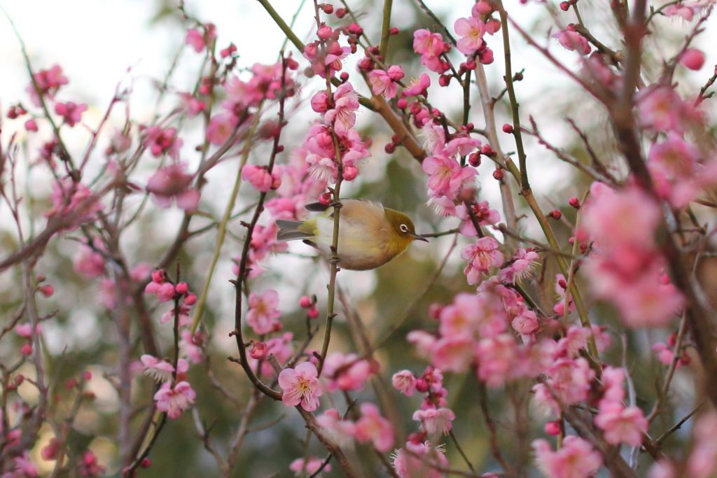 White Eye and Japanese Plum (Ume)