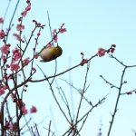 梅とメジロ Japanese Plum (Ume) and White-eye