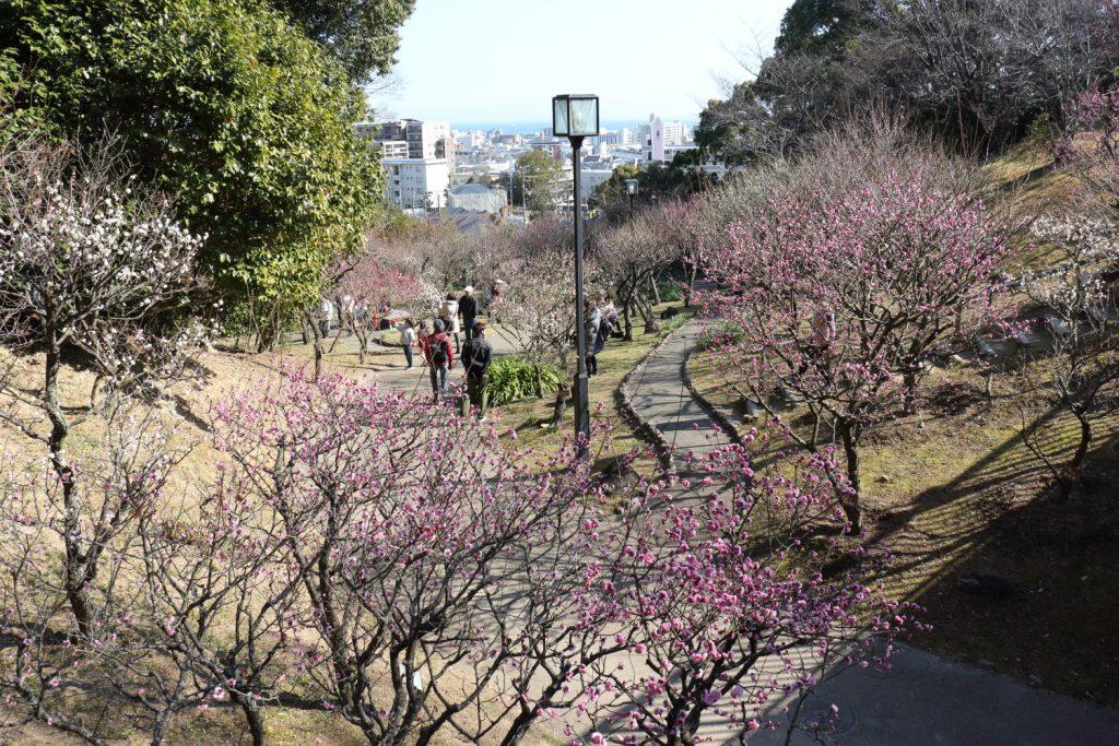 梅園 須磨離宮公園 Plum Trees, Suma Rikyu Park