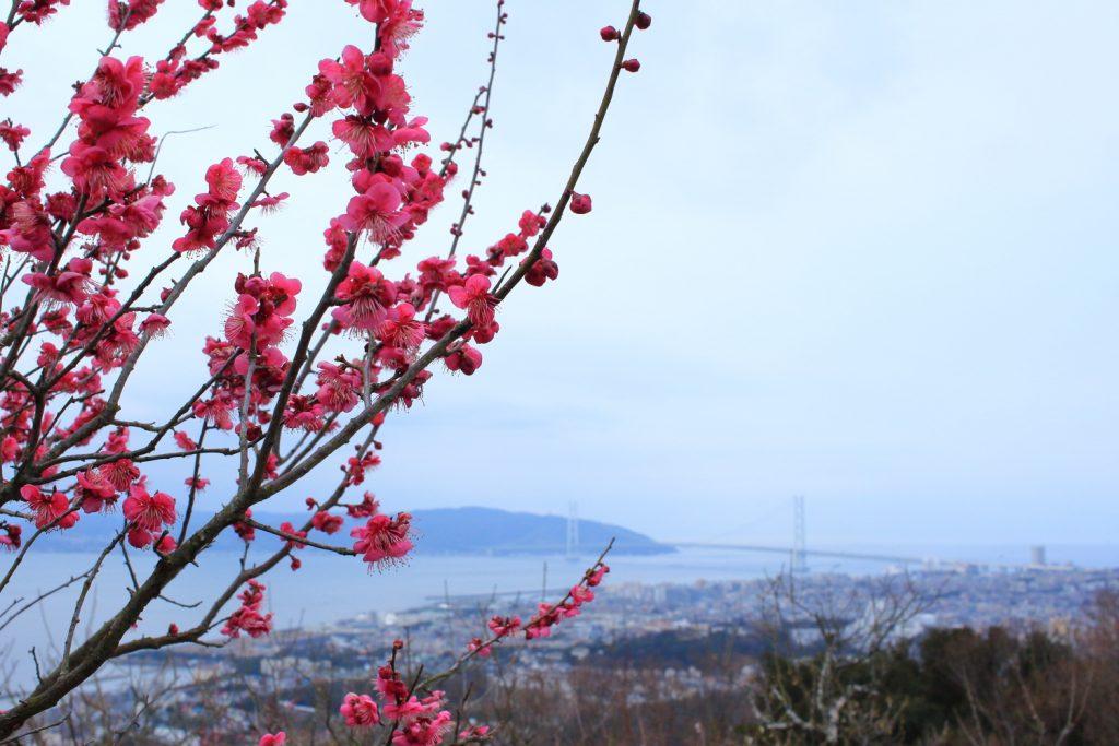 須磨浦山上遊園 梅