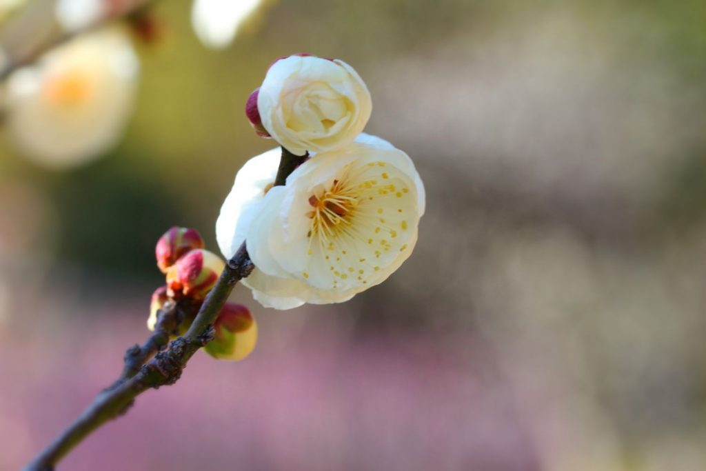 マクロ撮影した梅の花
