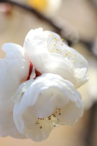 マクロ撮影した梅