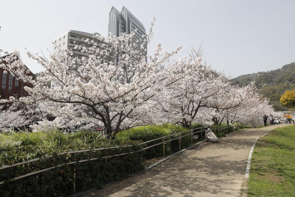 生田川の桜 2021年3月29日撮影