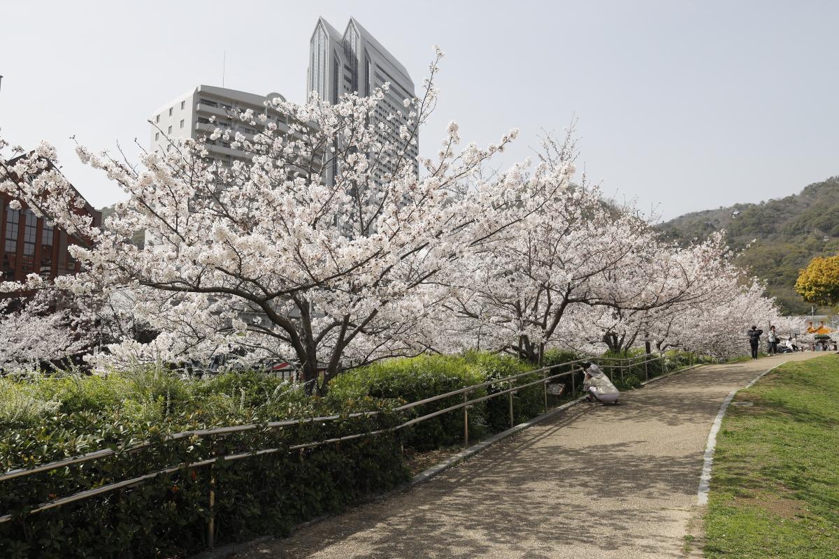 生田川の桜開花状況 2021年3月29日撮影