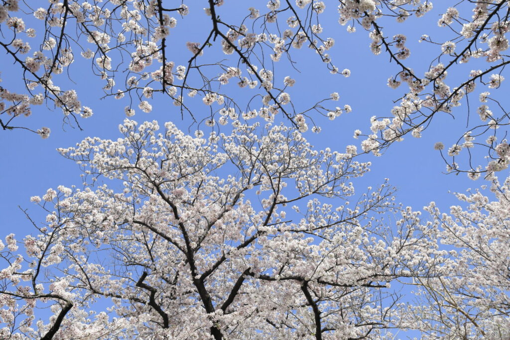 絶対に行きたい神戸の桜の名所・おすすめ撮影スポット