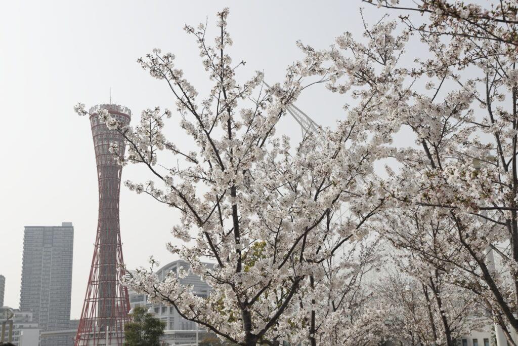 ポートタワーと桜 メリケンパークにて