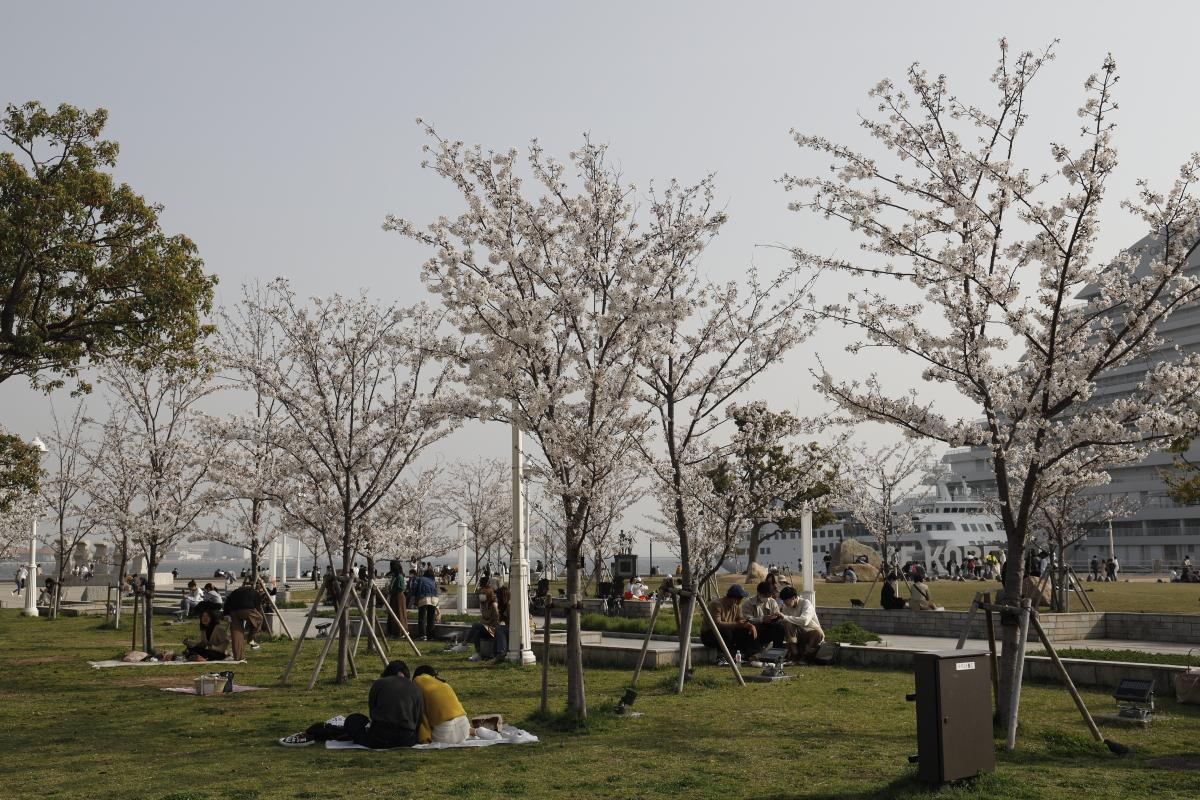メリケンパークの桜 2021年3月29日撮影