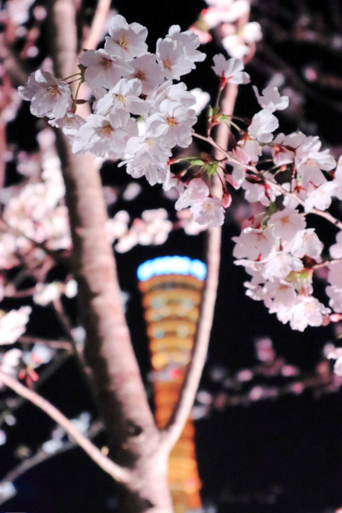 メリケンパークの夜桜