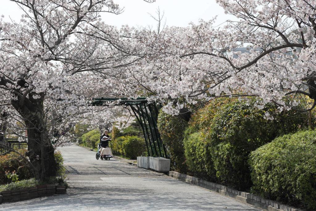 神戸市水の科学博物館の桜