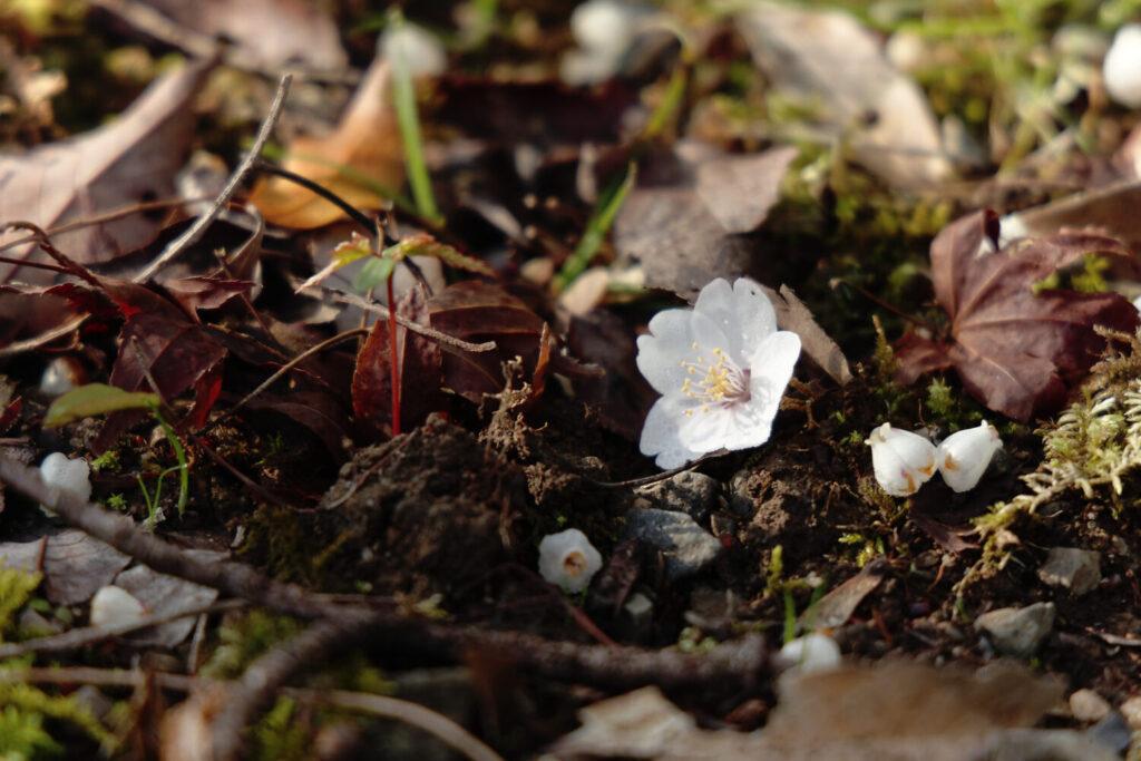 地面に落ちた桜の花