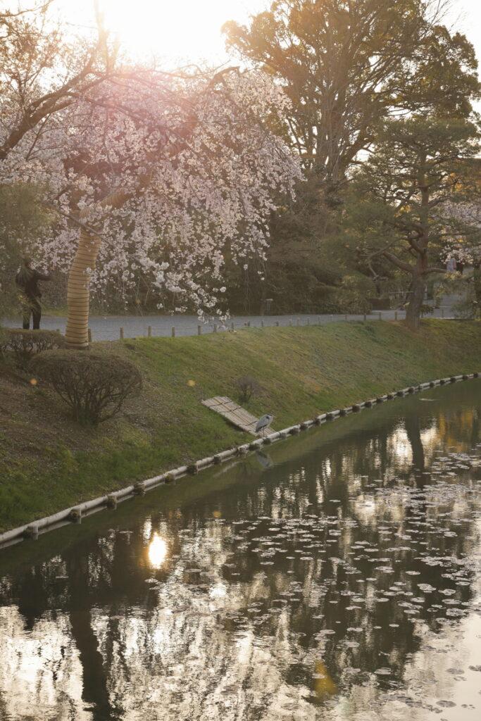 枝垂れ桜と逆光で光る水面