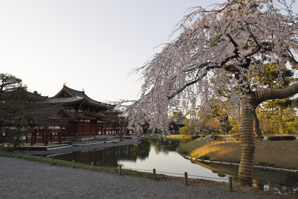 平等院と桜