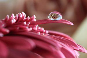 小さな水滴の中に映りこむ薔薇