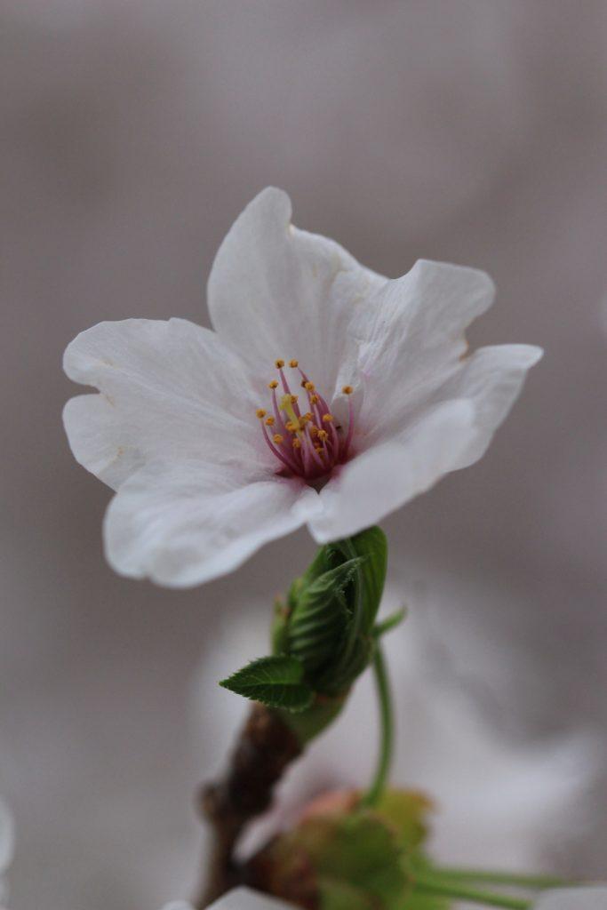 桜マクロ撮影