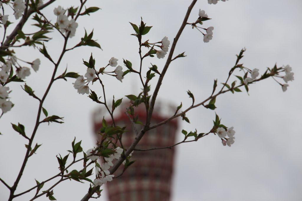 メリケンパークの桜