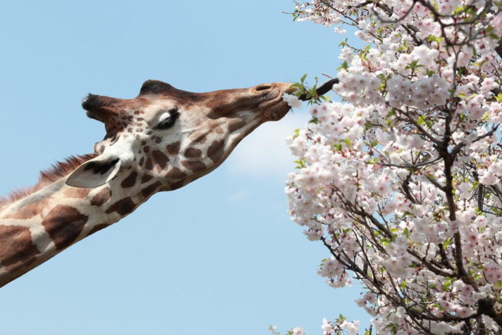 王子動物園のキリンと桜 桜を食べる