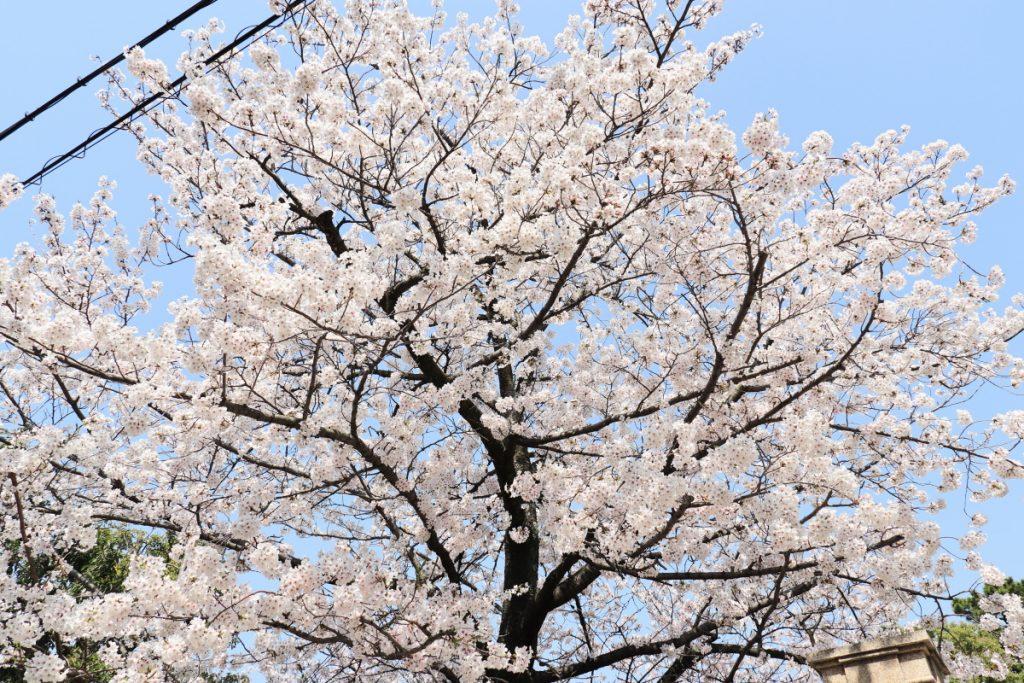 香雪美術館前の桜