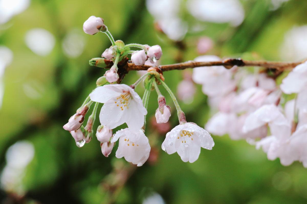 桜の上手な撮影方法!作例を見ながら考えてみる