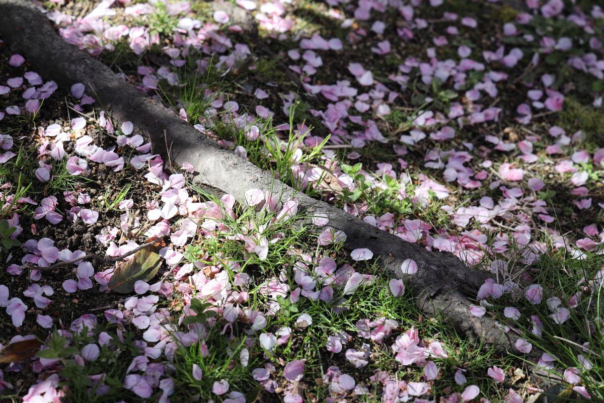 散った桜の花びら 岡本・桜守公園
