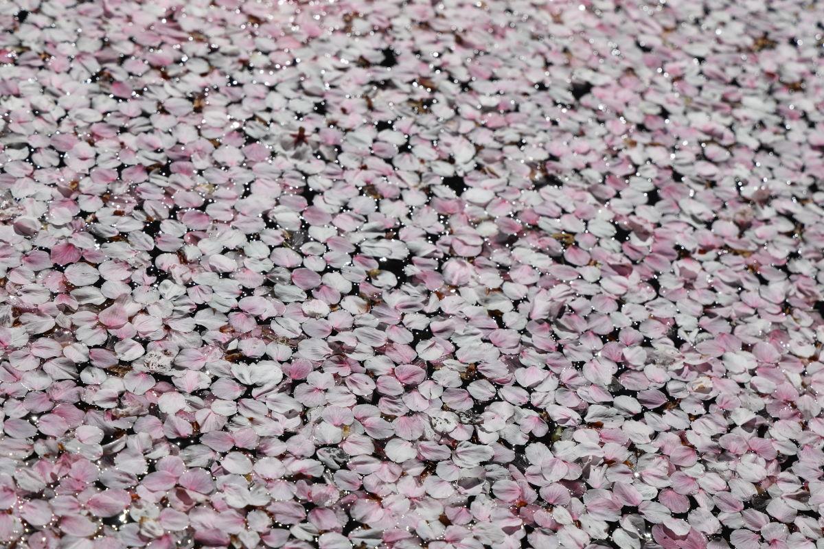 水面に浮かぶ桜の花びら 岡本・桜守公園