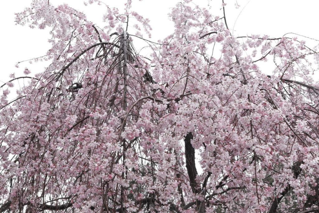 くもりの日の桜 作例写真